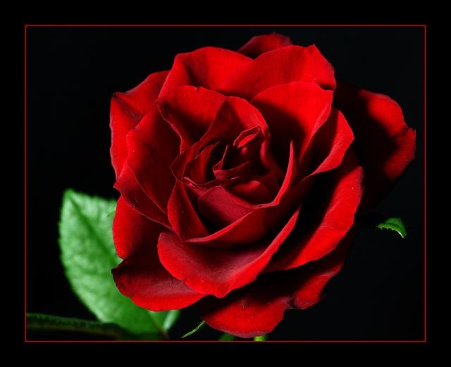 rose9s