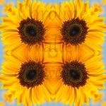 10xsonnenblumen-mandala